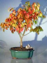 Burning Bush <i>(Euonymous Little Moses)</i> :: Outdoor Bonsai Trees