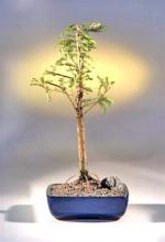Bald Cypress Bonsai Tree <i>(Taxodium Distichum)</i> :: Outdoor Bonsai Trees