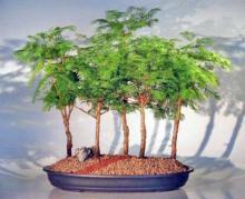Redwood Bonsai Tree - 5 (Five) Tree Forest Group <i>(Metasequoia Glyptostroboides)</i> :: Outdoor Bonsai Trees