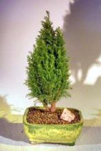 European Cypress Evergreen Bonsai Tree <i>(Chamaecypari Lawsoniana Ellwoodii)</i> :: Outdoor Bonsai Trees