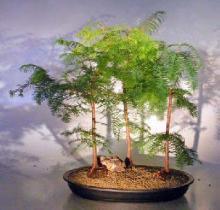 Redwood Bonsai Tree Three (3) Tree Forest Group - Large <i>(Metasequoia Glyptostroboides)</i> :: Outdoor Bonsai Trees