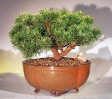 Mugo Pine Bonsai Tree Large  <i>(Pinus Mugo Valley Cushion)</i> :: Outdoor Bonsai Trees