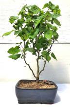 Walking Stick Bonsai Tree <i>(Corylus Avellana Contorta)</i> :: Outdoor Bonsai Trees