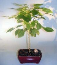 American Hornbeam Bonsai Tree <i>(Carpinus Caroliniana)</i> :: Outdoor Bonsai Trees