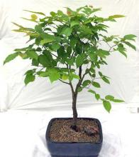 European Hornbeam Bonsai Tree <i>(Carpinus Betulus)</i> :: Outdoor Bonsai Trees