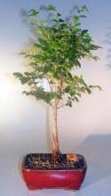 Elsmo Lacebark Elm <i>(Ulmus Parvifolia Elsmo)</i> :: Outdoor Bonsai Trees