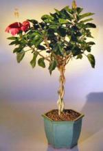 Flowering Tropical Red Hibiscus Braided Trunk <i>(Rosa Sinsensis)</i> :: Flowering Bonsai Trees