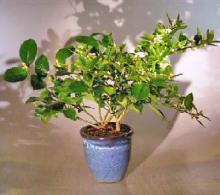 Flowering Cocktail Citrus Bonsai Tree - Lemon & Lime Citrus Trees in One Pot <i>(Citrus Meyeri and Citrus Aurantifolia)</i> :: Flowering Bonsai Trees