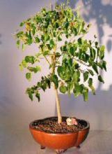 Flowering Dwarf Everbearing Mulberry Bonsai Tree <i>(Morus Nigra)</i> :: Flowering Bonsai Trees
