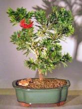 """Flowering Bottlebrush - Little John - Medium  <i>(Callistemon Citrinus """"Little John"""")</i> :: Flowering Bonsai Trees"""