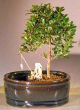 Flowering Brush Cherry Bonsai Tree  Land/Water Pot - Small <i>(Eugenia Myrtifolia)</i> :: Flowering Bonsai Trees