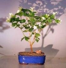 Flowering Arabian Jasmine <i>(Jasminum Sambac)</i> :: Flowering Bonsai Trees