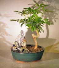 Hawaiian Umbrella Bonsai Tree - Coiled Trunk  Stone Landscape Scene <i>(Arboricola Schefflera Luseanne)</i> :: Flowering Bonsai Trees