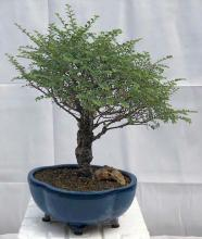 Chinese Seiju Elm Upright Ball Style <i>(Ulmus Parvifolia Seiju)</i> :: Outdoor Bonsai Trees