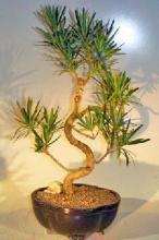 Flowering Podocarpus Bonsai Tree Curved Trunk Style - Large <i>(Podocarpus Macrophyllus)</i> :: Flowering Bonsai Trees