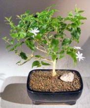 Flowering Downy Jasmine <i>(Jasminum Multiflorum)</i> :: Flowering Bonsai Trees