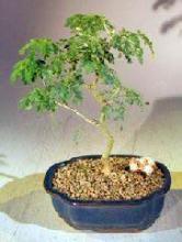 Flowering Brazilian Raintree Bonsai Tree - Small <i>(Pithecellobium Tortum)</i> :: Flowering Bonsai Trees