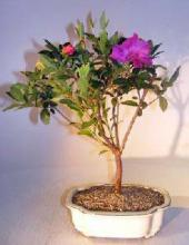 Flowering Tropical Purple Formosa Azalea Bonsai Tree <i>(Azalea Indica Formosa)</i> :: Flowering Bonsai Trees