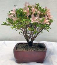 Flowering Azalea Bonsai Tree <i>(Rhododendron Obtusum)</i> :: Flowering Bonsai Trees
