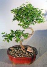 Flowering Sweet Plum - Medium  Curved Trunk Style <i>(Sageretia Theezans)</i> :: Flowering Bonsai Trees