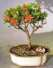 Flowering Chojuho Azalea Bonsai Tree <i>(Chojuho Satsuki Azalea)</i> :: Flowering Bonsai Trees