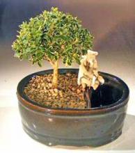 Flowering Mount Fuji Bonsai Tree Land/Water Pot- Small <i>(Serissa Foetida)</i> :: Flowering Bonsai Trees