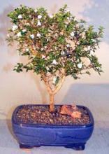 Snow Rose Serissa - Aged <i>(Serissa Foetida)</i> :: Flowering Bonsai Trees