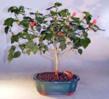 Flowering Dwarf Sleeping Hibiscus Bonsai Tree <i>(Malvaviscus Alboretus Compactus)</i> :: Flowering Bonsai Trees