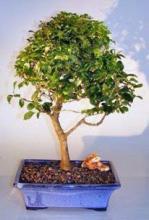 Flowering Ligustrum Bonsai Tree - Large <i>Upright Style</i> :: Flowering Bonsai Trees