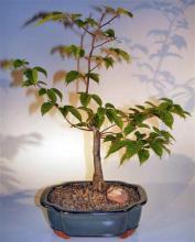 Flowering Japanese Loose Hornbeam Bonsai Tree <i>(Carpinus Laxiflora)</i> :: Flowering Bonsai Trees