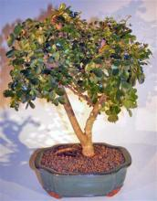 Flowering Campeche Bonsai Tree - Large <i>(Haematoxylum Campechianum)</i> :: Flowering Bonsai Trees