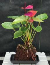 """Flowering Purple Anthurium In Hawaiian Lava Rock (""""small talk"""") <i>(Anthurium Andraeanum)</i> :: Flowering Bonsai Trees"""