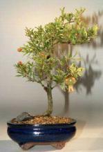 Flowering & Fruiting Dwarf Pomegranate - Medium <i>(Punica Granatum)</i> :: Flowering Bonsai Trees