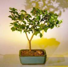 Flowering Water Jasmine Bonsai Tree - Medium <i>(Wrightia Religiosa)</i> :: Flowering Bonsai Trees