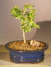 Flowering Tropical Boxwood Bonsai Tree - Small <i>(Neea Buxifolia)</i> :: Flowering Bonsai Trees