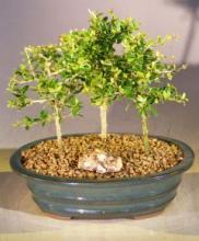 Flowering Tropical Boxwood Bonsai Tree 3 Tree Forest Group <i>(Neea Buxifolia)</i> :: Flowering Bonsai Trees