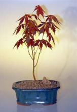 "Japanese Red Maple Bonsai Tree - Small <i>(Acer Palmatum ""atropurpureum"")</i> :: Outdoor Bonsai Trees"