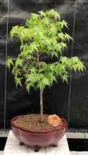 Dwarf Japanese Green Maple Bonsai Tree <i>(Acer Palmatum Dwarf)</i> :: Outdoor Bonsai Trees