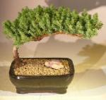 Dwarf Juniper Bonsai Tree (Small Size)