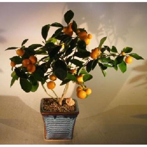 Indoor Bonsai Trees Citrus Indoor Bonsai Tree