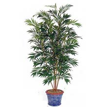 8 foot Asian Bamboo Palm