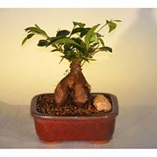 Ginseng Ficus Bonsai Tree - Small