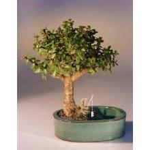 Baby Jade Bonsai Tree Land/Water Pot - Medium <i>(Portulacaria Afra)</i>