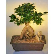 Ginseng Ficus Bonsai Tree - Extra Large <i>(Ficus Retusa)</i>