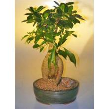 Ginseng Ficus Bonsai Tree - Large <i>(Ficus Retusa)</i>
