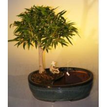 Willow Leaf Ficus Bonsai Tree Land/Water Pot - Medium <i>(Ficus Nerifolia/Salisafolia)</i>