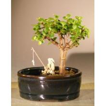 Baby Jade Bonsai Tree Land/Water Pot - Small <i>(Portulacaria Afra)</i>