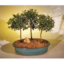 Flowering Brush Cherry Bonsai Tree Three (3) Tree Forest Group <i>(Eugenia Myrtifolia)</i>