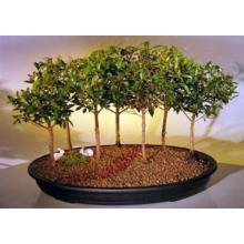 Flowering Brush Cherry Bonsai Tree Seven Tree Forest Group <i>(Eugenia Myrtifolia)</i>
