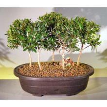 Flowering Brush Cherry Bonsai Tree Five Tree Forest Group <i>(Eugenia Myrtifolia)</i>